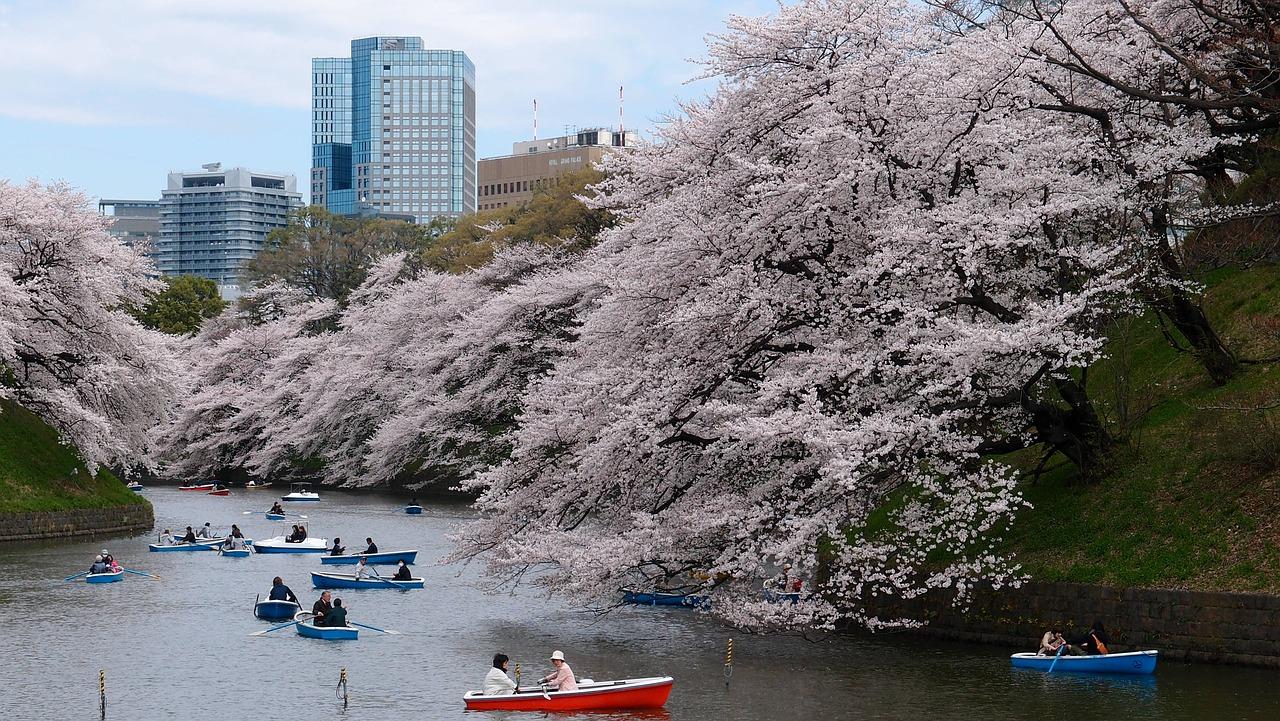 Kirsebærtræ i Tokyo