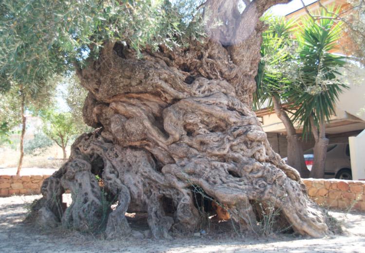 Verdens største oliventræ
