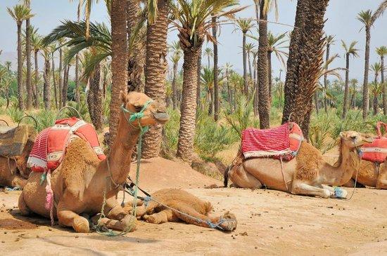 Kamelridning i Marrakech