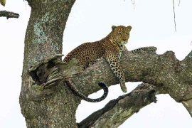 Afrikas Big 5 – her er de ikoniske dyr, du skal se på din safari