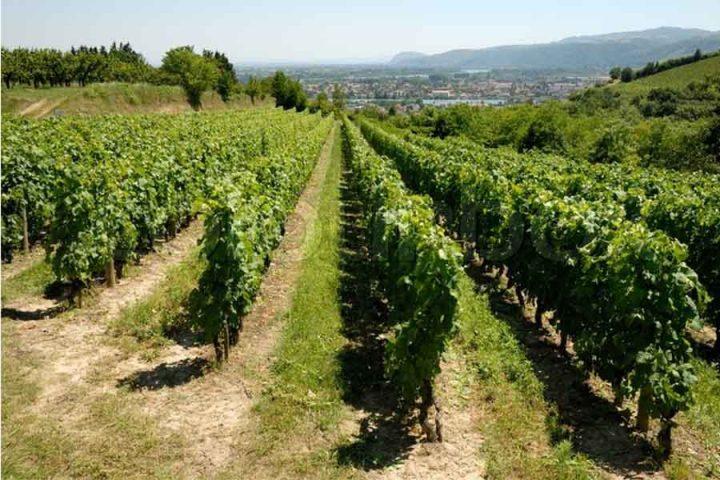 vingårdsferie
